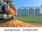 Corn Grains In A Hand After...