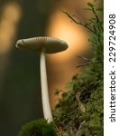 Small photo of Amanitaceae mushroom