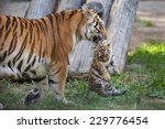 Tiger Mother Carrying Her Cub...
