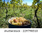Collected Grapes In A Bucket  ...