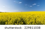 Rapeseed field with golden yellow flowers before harvest - stock photo