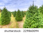 Rows Of Christmas Trees On A...