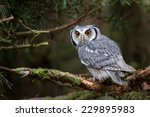 Stock photo a white faced scops owl ptilopsis leucotis in a tree staring with large orange eyes 229895983