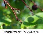 beautiful rain drops on twigs... | Shutterstock . vector #229930576