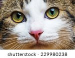 a cat portrait close up | Shutterstock . vector #229980238