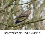buzzard perched in a tree | Shutterstock . vector #230033446