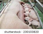 Little Piglets Suckling Their...