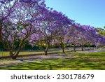 Jacaranda Tree In Full Bloom I...