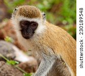 Small photo of Cercopithecus Aethiops also known as Vervet monkey in southern Kenya