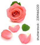 A Pink Rose Bloom By Gift