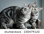 Stock photo two american shorthair cats sitting on old wood shelf 230479120