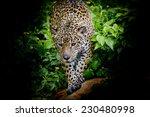 Jaguar walking in the forrest