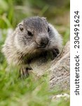Small photo of young alpine marmot on rock