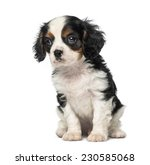 Stock photo cavalier king charles spaniel puppy weeks old 230585068