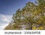 maple tree on a sunny autumn day | Shutterstock . vector #230636938