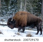 Small photo of Profile of a large bison plodding through the snow facing left, winter in Yellowstone National Park