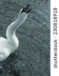 a screaming sad swan on a lake  ...