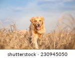 Stock photo golden retriever dog running outdoor 230945050