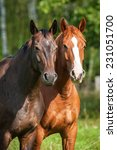 Portrait Of Two Horses On The...