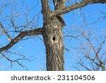 A Tree Hole. Oak Wood