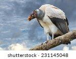 Sarcoramphus Papa Vulture...