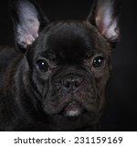french bulldog puppy portrait... | Shutterstock . vector #231159169