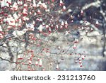 Red Berries Under Snow  Snow ...