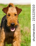 Small photo of beautiful airedale terrier dog portrait