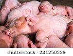 Newborn Piglets Sleeping
