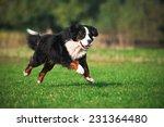 Stock photo dog running on the grass 231364480