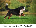 Stock photo dog running on the grass 231364483