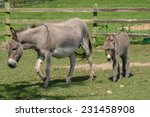 Female Donkey With Her Two...
