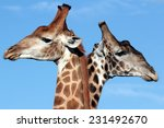 Two Girrafe Together In This...