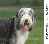 Beautiful Bearded Collie...