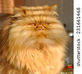 Stock photo huge fat cat persian 231661468
