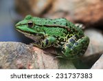 A green edible frog, also known as the Common Water Frog , sits on a stone. Edible frogs are hybrids of  pool frogs and marsh frogs.