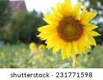 Close Up Beautiful Sunflowers...