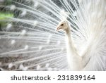 white peacock profile | Shutterstock . vector #231839164