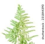 asparagus setaceus leaf... | Shutterstock . vector #231844390