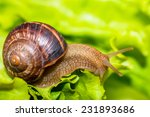 Snail Eating And Crawling On...