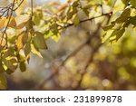 dogwood leaves autumn colored...   Shutterstock . vector #231899878
