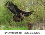 Golden Eagle About To Land. A...