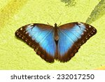 Blue Morpho Butterfly Hangs...