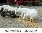 White Domestic Geese In A Raw...