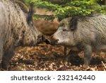 wild boar walking through dead... | Shutterstock . vector #232142440