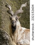 markhor resting on a rock | Shutterstock . vector #232152604