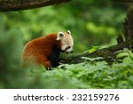 portrait of a red panda.... | Shutterstock . vector #232159276