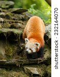 Small photo of Portrait of a Red Panda. Shining cat. Curious Firefox. Climbing on the rocks. ( Ailurus fulgens )