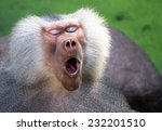 Close Up Of A Male Baboon Just...