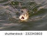 Tiger Fish Being Caught At Lak...